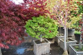 ornamental trees planters choice