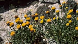 washington native plant society big goats small alpine area grand canyon trust
