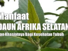 Teh Afrika menakjubkan inilah 17 manfaat teh afrika untuk kesehatan tubuh