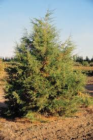 list of native plants list of coniferous plants of montana wikipedia