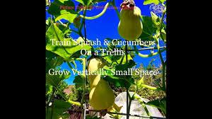training squash u0026 cucumbers on trellis small space grow vertical