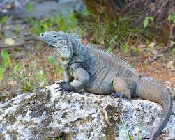 the return of grand cayman u0027s blue iguana from near extinction to