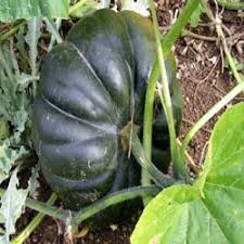 image of squash plant, borrowed from t0.gstatic.com