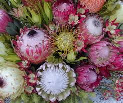 protea flower debra prinzing post flowers podcast all about protea a