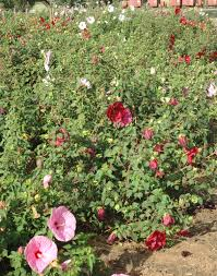 agrilife research bred winter hardy hibiscus nearer to u s