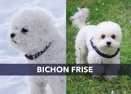 bichon frise long hair meet the bichon frise tails com dog blog