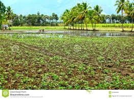 peanuts tree field stock photo image of plaugh agriculture