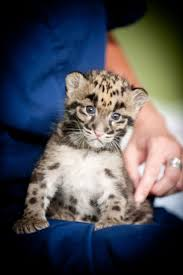 Pdza Zoo Lights by 429 Best Clouded Leopards Images On Pinterest Clouded Leopard