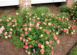 drift roses drift roses 2nd year these landscaping