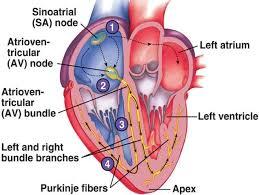 cardiovascular system electrocardiogram ecg 3 2 diatom on a