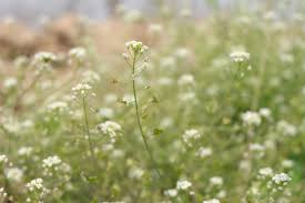 Baby S Breath Flower Baby U0027s Breath Plant Free Image Peakpx