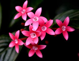 pentas flower file pentas flowers jpg wikimedia commons