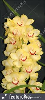 cymbidium orchids photo of yellow cymbidium orchid
