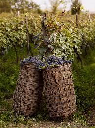 Country Wine Basket Harvesting Wine Grapes In Georgia With Hand Woven Willow Baskets