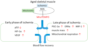 ijms free full text mitochondrial targeted antioxidant