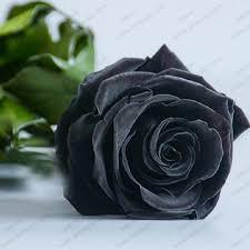 real black roses real black flower images 4k wallpapers