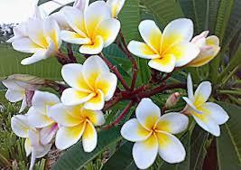 plumeria flower file plumeria flowers frangipani jpg