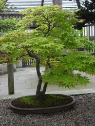 green japanese maple search brown is the new