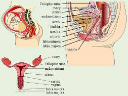 Anatomy Of The Female Reproductive System Pictures The Reproductive System Health Pinterest Reproductive System