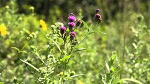 missouri native plants missouri prairie foundation why prairie matters youtube