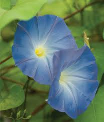 heavenly blue morning glory seeds and plants annual flower garden