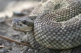 Snake Holes In Backyard Rattlesnake