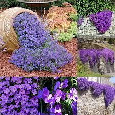 220pcs aubrieta seeds purple linaceae flower seeds ground garden