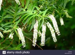 native plant species veronica hebe species new zealand native plant stock photo