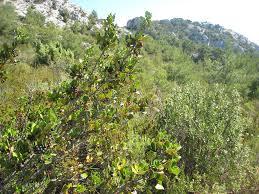 frangula californica wikipedia rhamnus alaternus u2013 plantright