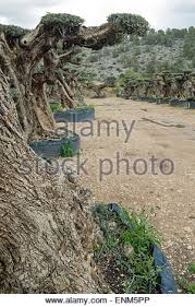centennial olive trees meant for ornamental purposes stock photo
