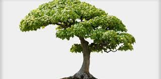 bonsai trees plant guide lifestyle home