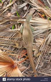 iguana island rock iguana endemic to this country top view iguana island stock