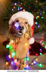 dog christmas christmas dog stock images royalty free images vectors