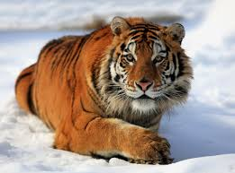 Home Interior Tiger Picture New Siberian Tiger And Other Endangered Species Safaris How To