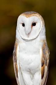 North American Barn Owl High Quality Stock Photos Of