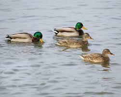 great backyard bird count u2014 hsv audubon