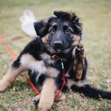 belgian shepherd how much how much does a german shepherd cost