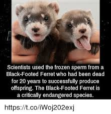 Ferret Meme - scientists used the frozen sperm from a black footed ferret who had