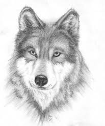 baby gray wolf colouring pages chainimage