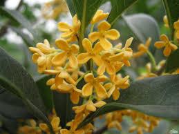 Very Fragrant Plants Osmanthus Fragrans Sweet Olive Seed Nature Pinterest Shrub