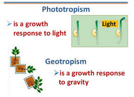 What Is Growth Movement Of A Plant Toward Light Called Tropism In Plants Biology Notes For Igcse 2014