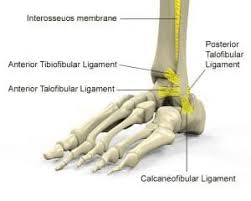 Anterior Distal Tibiofibular Ligament Best 25 Ligaments Of The Ankle Ideas On Pinterest Bones Of The