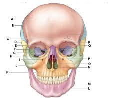 skull anatomy worksheet free worksheets library download and