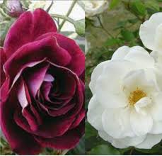 White Roses For Sale Greenvale Rose Farm Roses For Sale Results
