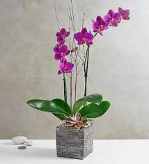 Orchid Delivery Orchid Sale Orchid Plants U0026 Orchid Bouquets 1800flowers