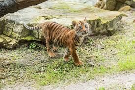 tiger cub recovering from broken leg wuft