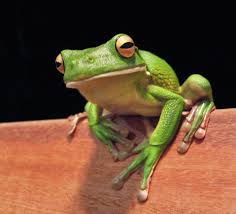 frog free stock photo close up of a white lipped tree frog