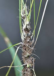 Plant Diseases Wikipedia - loose wikipedia