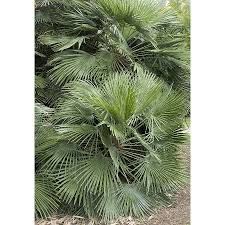 mediterranean fan palm tree shop monrovia 3 58 gallon mediterranean fan palm feature tree at