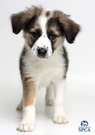 australian shepherd puppy 2 months panda id 23854107 2 month old female tri colored australian